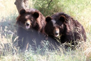 Two bears at BRC's Balkasar Sanctuary in Pakistan, which is part funded by World Animal Protection