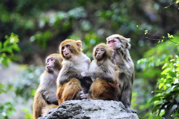 macaque monkeys in the wild