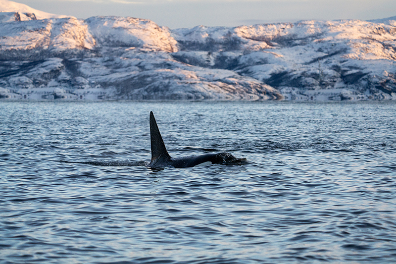 A photos of an orca in the ocean
