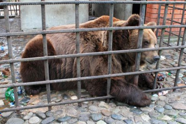 A bear held in captivity in a dirty cage