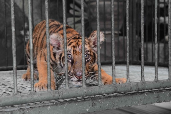 Caged tiger cub