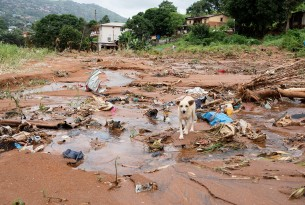 Sierra Leone dog at scene of mudslides