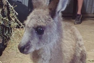 Baby joey after Australian bushfires