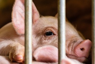 Piglet behind metal bars on a factory farm