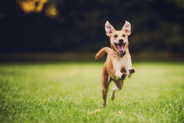 Happy running dog