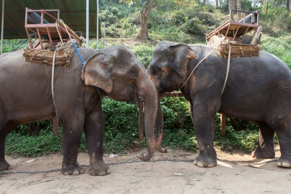 Elephants in Thailand ready to take tourists on rides - Wildlife. Not entertainers - World Animal Protection