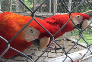Macaws in captivity at a breeding facility in Rio de Janeiro, Brazil - World Animal Protection
