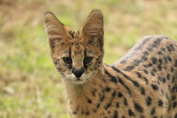 Serval cat native to Africa