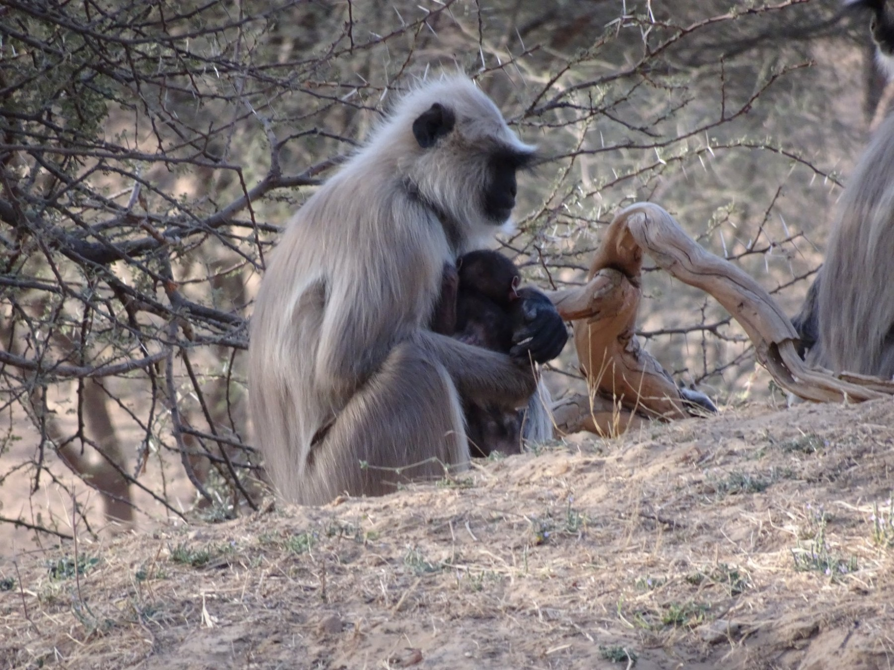 Mother and child Langur Jhalana Leopard Reserve Jaipur Rajasthan 23 March 2019