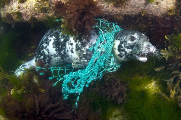 Seal trapped in ghost gear - World Animal Protection - Sea Change