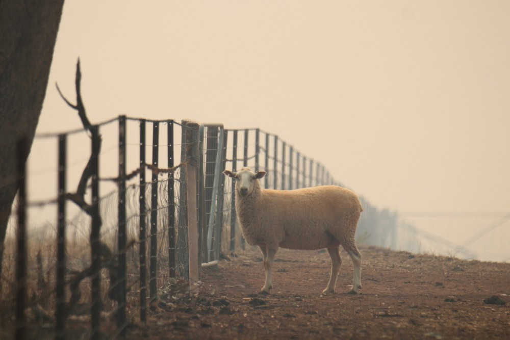Sheep in Australia during the brushfires