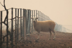 Sheep in Australian bushfire