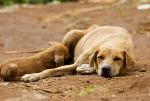 Dogs lying down together in Sierra Leone - Better lives for dogs - World Animal Protection