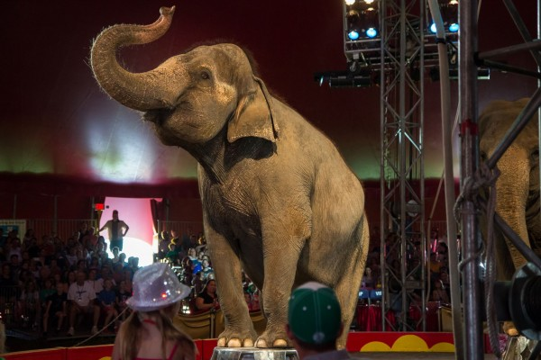 Elephant in a circus - Image: Alex Krasavtsev