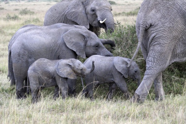 Historical vote for the protection of African elephants