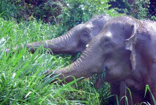 Top picture: Happy and muddy retired elephants,?Mae Kam and Mae Dok, at BEES eating in the grass specially planted for them to forage on.