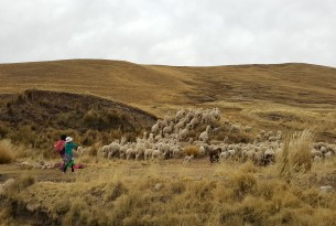 A herd of alpacas in Peru.