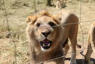 Lion at tourist attraction in South Africa - World Animal Protection