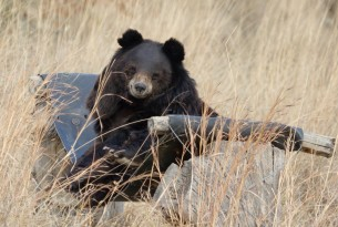 Pictured: bear relaxing in Balkasar sanctuary.
