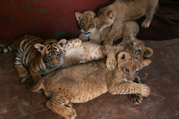 Lion and tiger cubs at a tourist attraction in South Africa - World Animal Protection