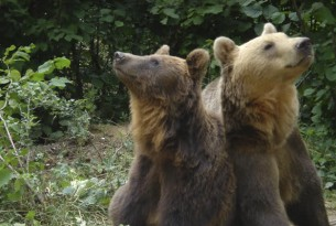 The bears Hansel and Gretel at the Romanian bear sancturary in Zarnesti, Romania