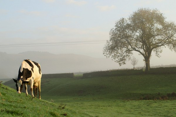 Dairy cows grazing on pastures at Eastby Farm, UK. World Animal Protection are campaigning against plans to intensify farming.
