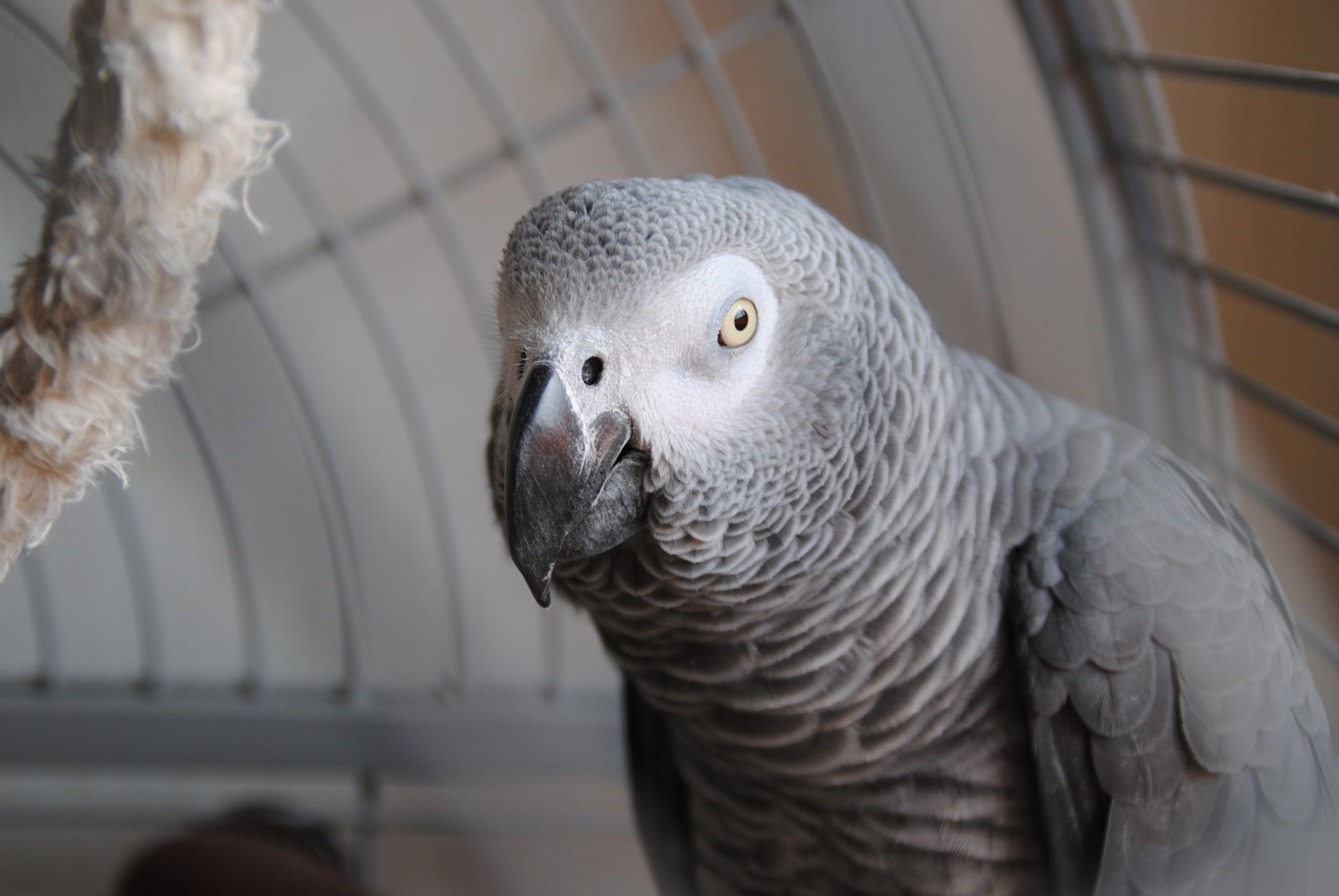 An African Grey Parrot in captivity.