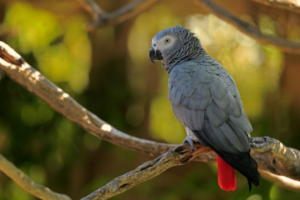 Wild African grey parrot - World Animal Protection - Wildlife. Not pets