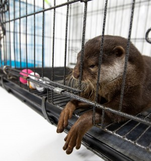 An otter in a cage in Japan