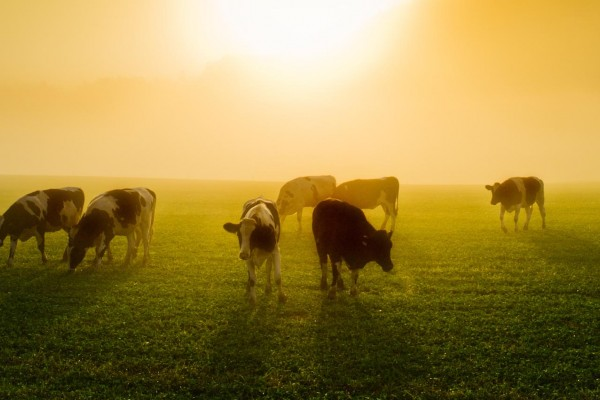 Cows in the sun