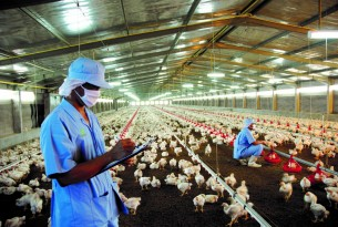 Workers on a chicken factory farm