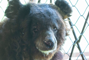 Rescued: Maggie the bear gets a new life