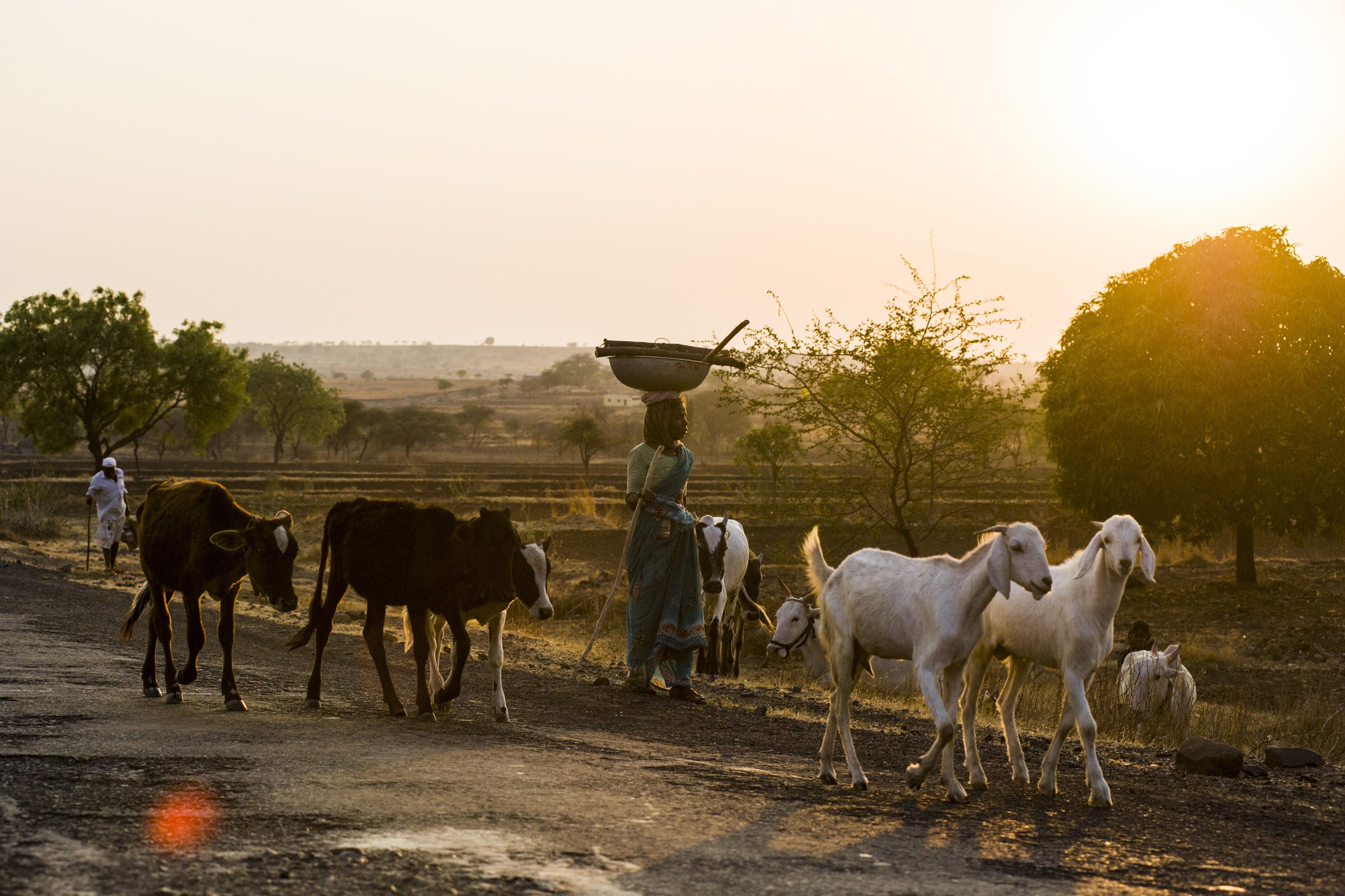cattle, livestock,
