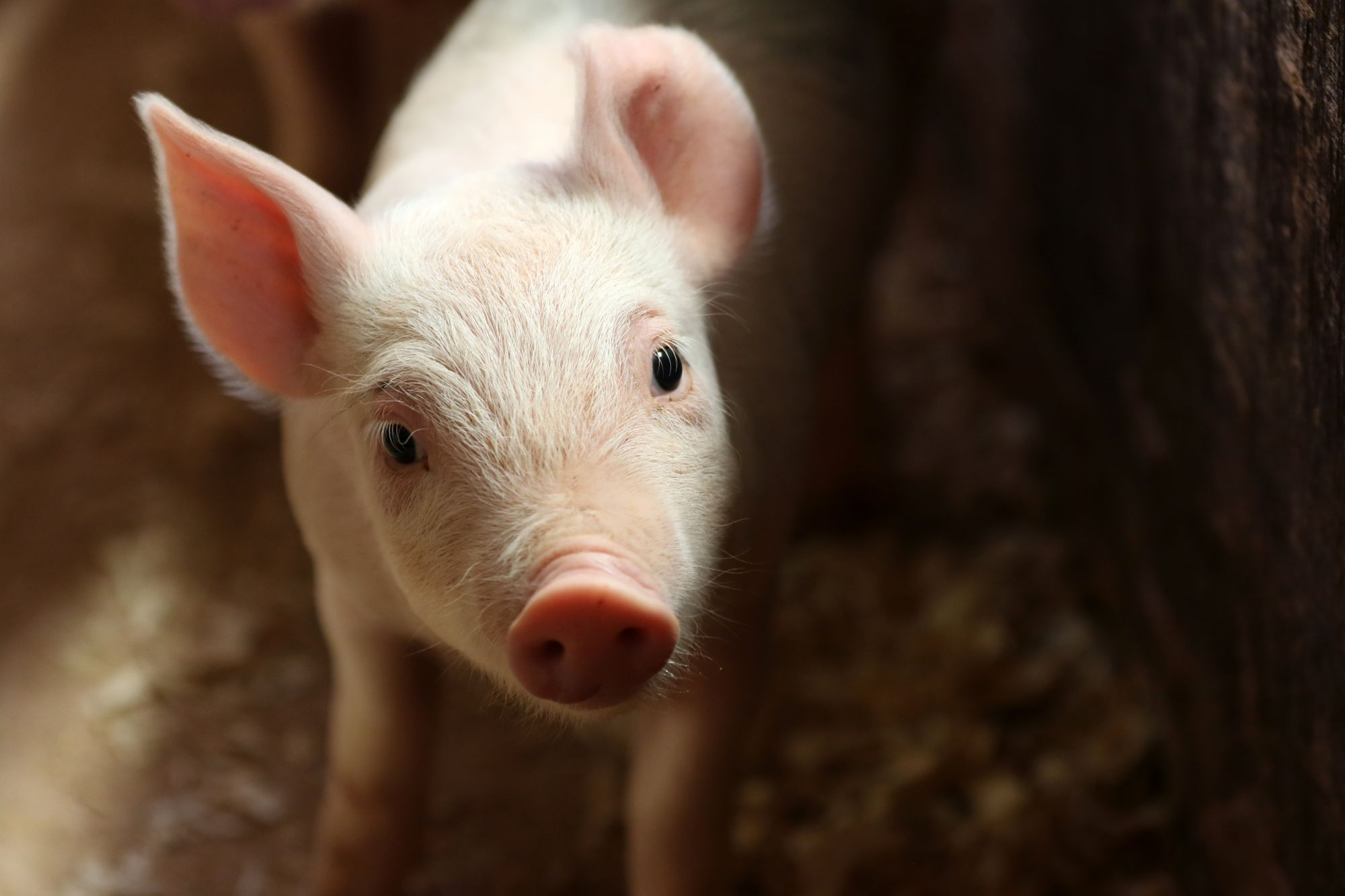 A piglet on a farm in Europe.