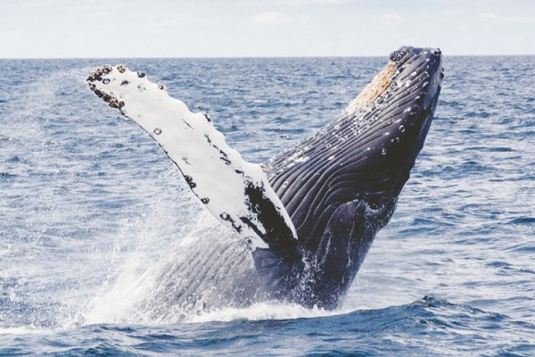 The complex lives of whales: Group living, culture and singing
