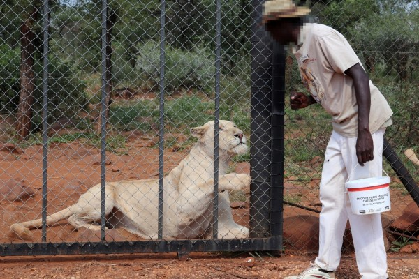 Lion in cage at tourist attraction in South Africa - World Animal Protection