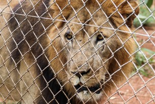 A caged lion