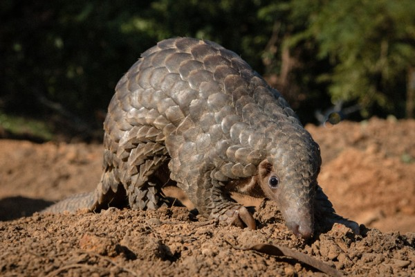The endangered Indian pangolin