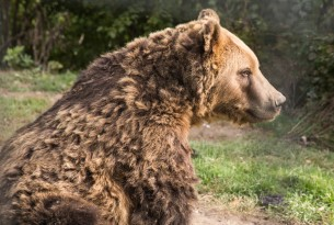 Three new bears rescued and brought to Romanian bear sanctuary
