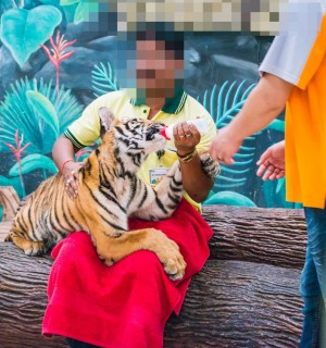 A tiger cub being used for tourist selfies at a venue in Thailand.