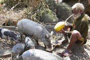 A farmer opens coconuts for his pigs on Epi Island, Vanuatu.