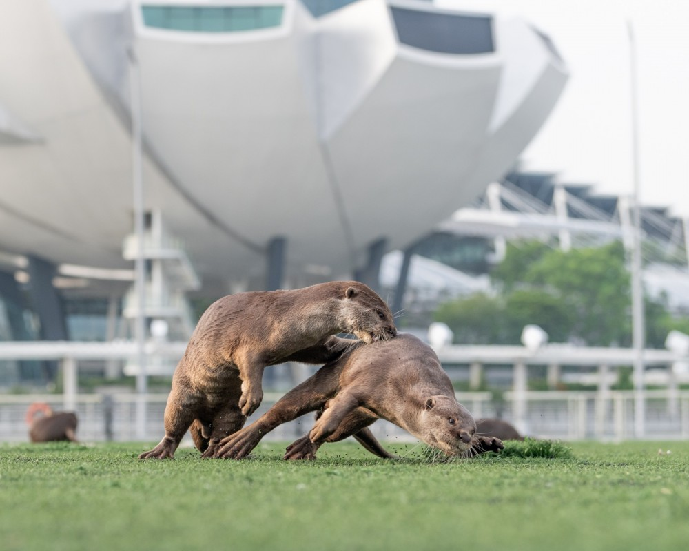 Two wild Asian otters fighting on the grass. Tall buildings are visible in the background - Singapore has wildlife-friendly environments where wild otters thrive