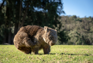 A scratching wombat at Bendeela, New South Wales.