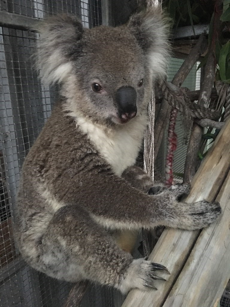 A koala at Hunter Wildlife