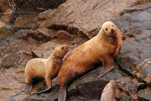 Sea lions entangled in ghost gear in the US - World Animal Protection - Sea Change