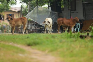 Cattle in flood affected Sakonnakhon province