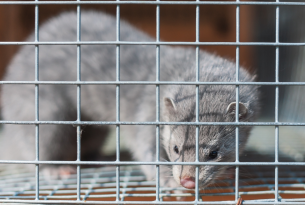 COVID-19 outbreak at Canadian mink farm is the latest wake-up call