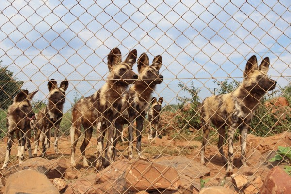 African wild dogs at a renowned venue in South Africa - End the global wildlife trade - World Animal Protection