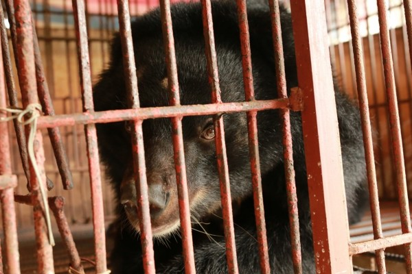 A bear on a bear bile farm