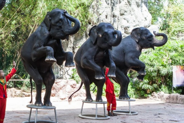 Elephants performing in a show for tourists in Thailand - World Animal Protection - Wildlife. Not entertainers